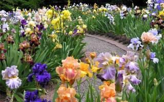 Ирисы в саду фото