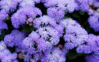 Календарь посева однолетних цветов