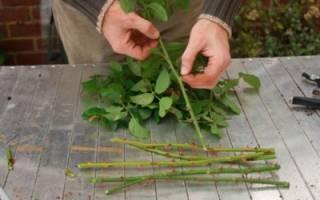 Размножение плетистой розы черенками осенью