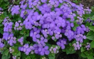 Красивый цветок агератум посадка и уход