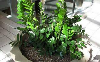 Долларовое дерево цветение замиокулькаса уход в домашних условиях