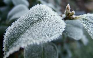 Укрытие на зиму ромашки