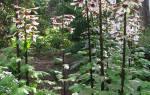 Существует ли лилия дерево
