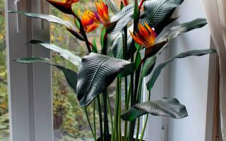 Цветы королевская стрелиция выращивание и уход в домашних условиях