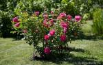 Роза модерн сентинел