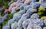 Гортензия метельчатая уход осенью подготовка к зиме