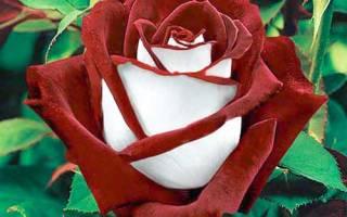 Роза ассирия фото и описание
