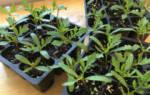 Место и почва для выращивания бархатцев