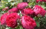 Розы шрабы посадка и уход