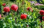 Мак садовый декоративный размножение и уход за цветком