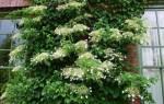 Гортензия плетистая идеальное растение для современного сада