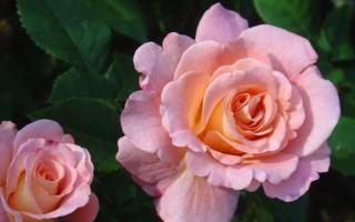 Роза голден дримс