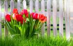 Когда можно пересаживать тюльпаны