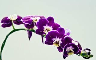 Как орхидеи стали фиолетовыми