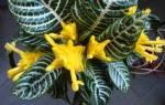 Цветок афеландра как за ним ухаживать