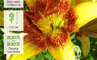 Сорта лилии с красными цветами