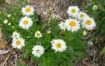 Ромашки уход осенью после цветения