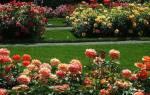 Цветник с розами или цветочный рай своими руками