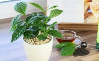 Заварка чая как удобрение для комнатных растений