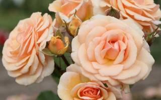 Розы флорибунда описание особенностей сортовида