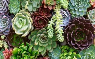 Домашние кактусы и суккуленты