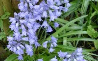 Цветок гиацинтоидес посадка и уход в открытом грунте фото сортов