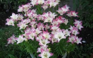 Цветник с любимыми лилиями и астильбами