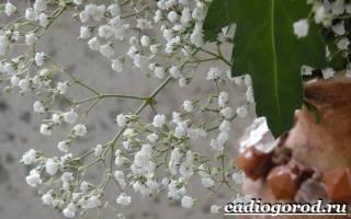 Цветы гипсофила посадка и уход