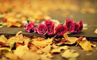 Уход за канадскими розами осенью подготовка к зиме