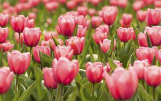 Особенности весенней посадки тюльпанов