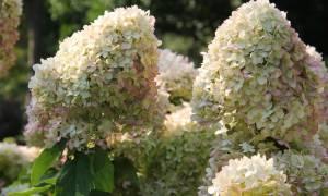 Гортензия метельчатая нydrangea paniculata