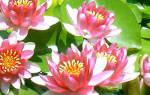 Создаем оптимальные условия для водяной лилии