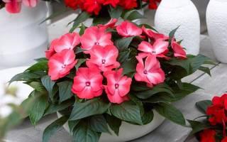 Цветок огонек как ухаживать чтобы цвел