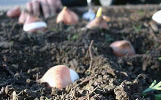 Кустовые тюльпаны посадка и уход в открытом грунте осенью