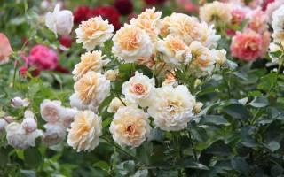 Чем подкармливать розы осенью