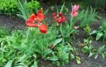 Как ухаживать за тюльпанами после цветения в открытом грунте