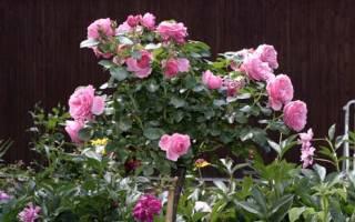 Розы на штамбе выбор саженца и посадка