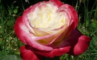 Роза хамелеон фото и описание