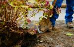 Гортензия пересадка осенью и уход