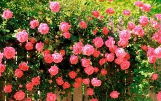 Розы при какой температуре могут замерзнуть