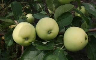 Яблочный сидр в емкости под гидрозатвором
