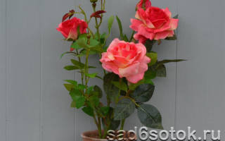Виды комнатной розы
