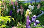 Сад непрерывного цветения многолетников схема посадки
