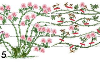 Роза симпатия плетистая описание