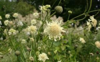 Цефалярия cephalaria цветы для бардюров и букетов
