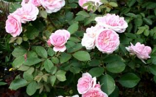 Роза прейри джой фото