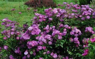 Типы обрезки кустовой розы