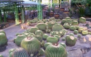 Все о кактусах домашних