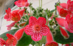 Цветы в доме колерия