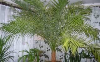 Где взять косточку для выращивания финковой пальмы